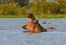 Hippos Lake Naivasha National Park